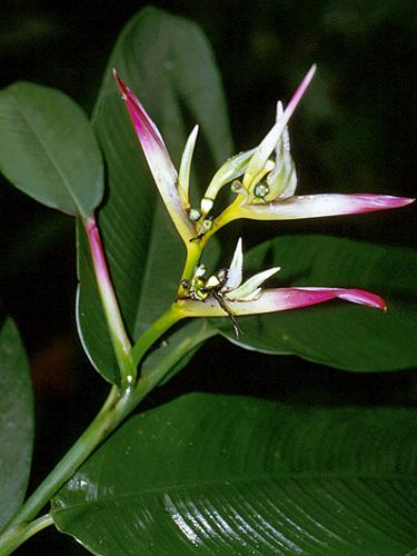http://fm2.fieldmuseum.org/plantguides/jpgs/HELI-heli-hirs-per-14876.jpg